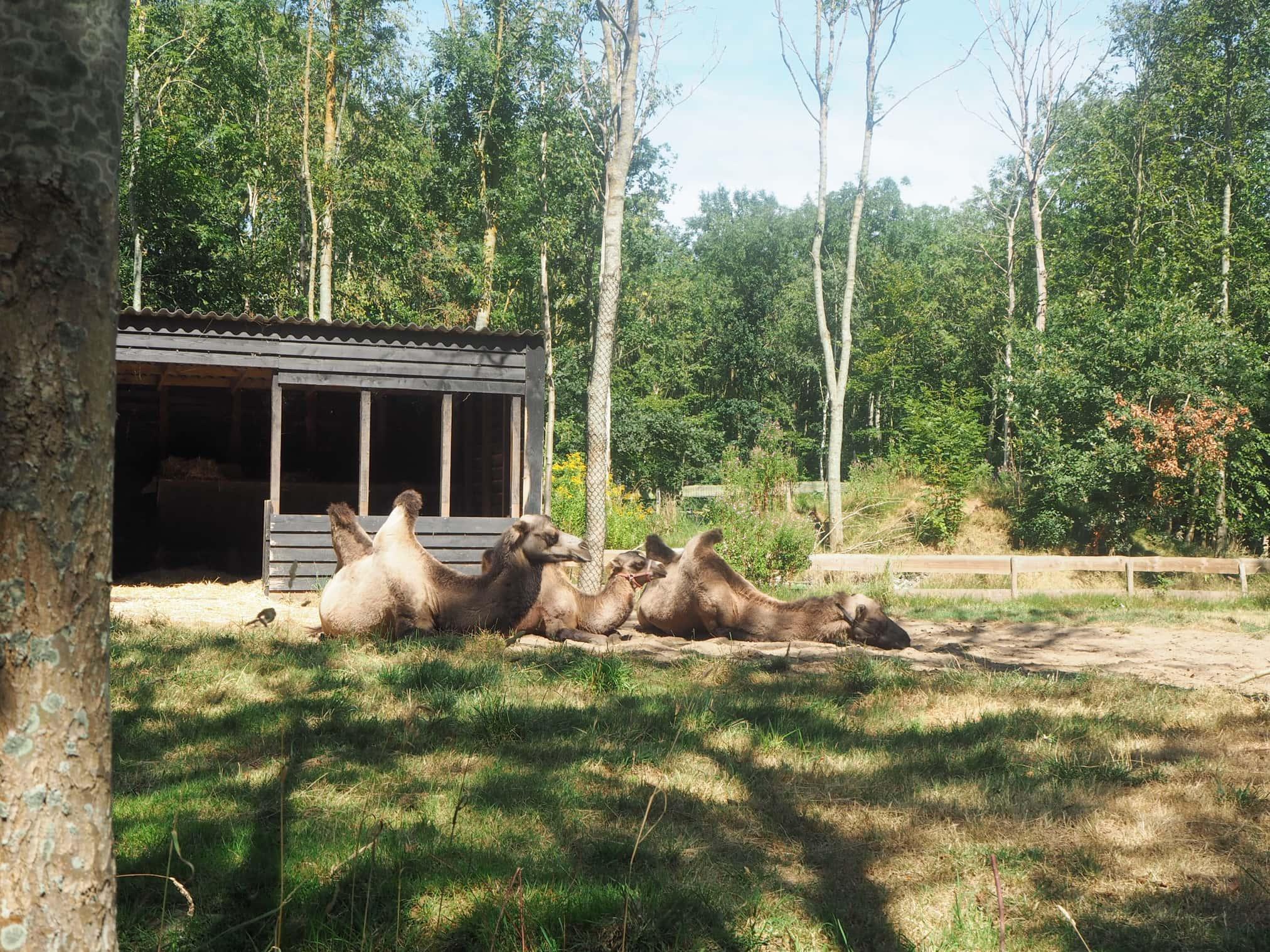 kamelen bij landgoed hoenderdaal