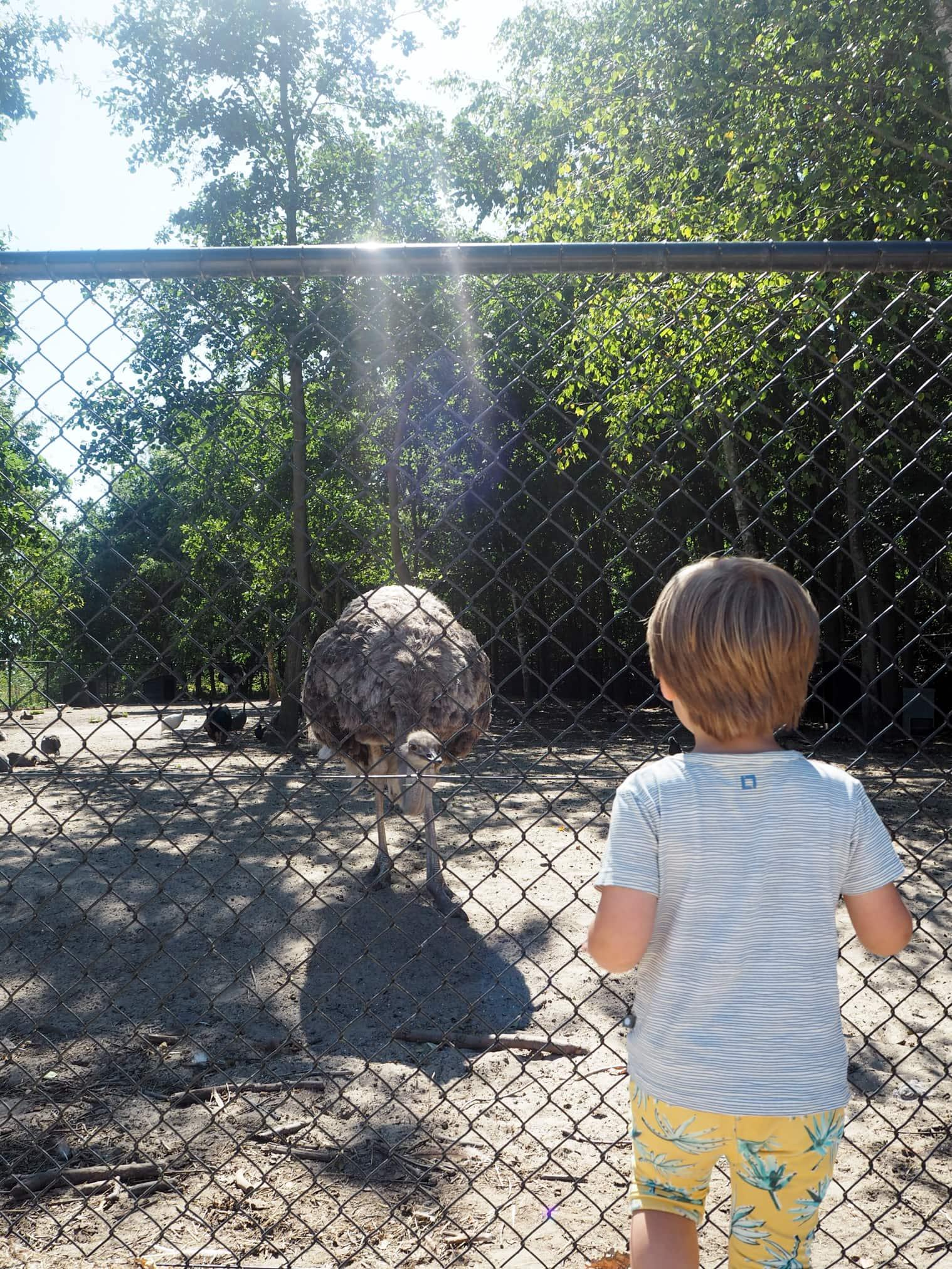 struisvogels in dierentuin noord holland