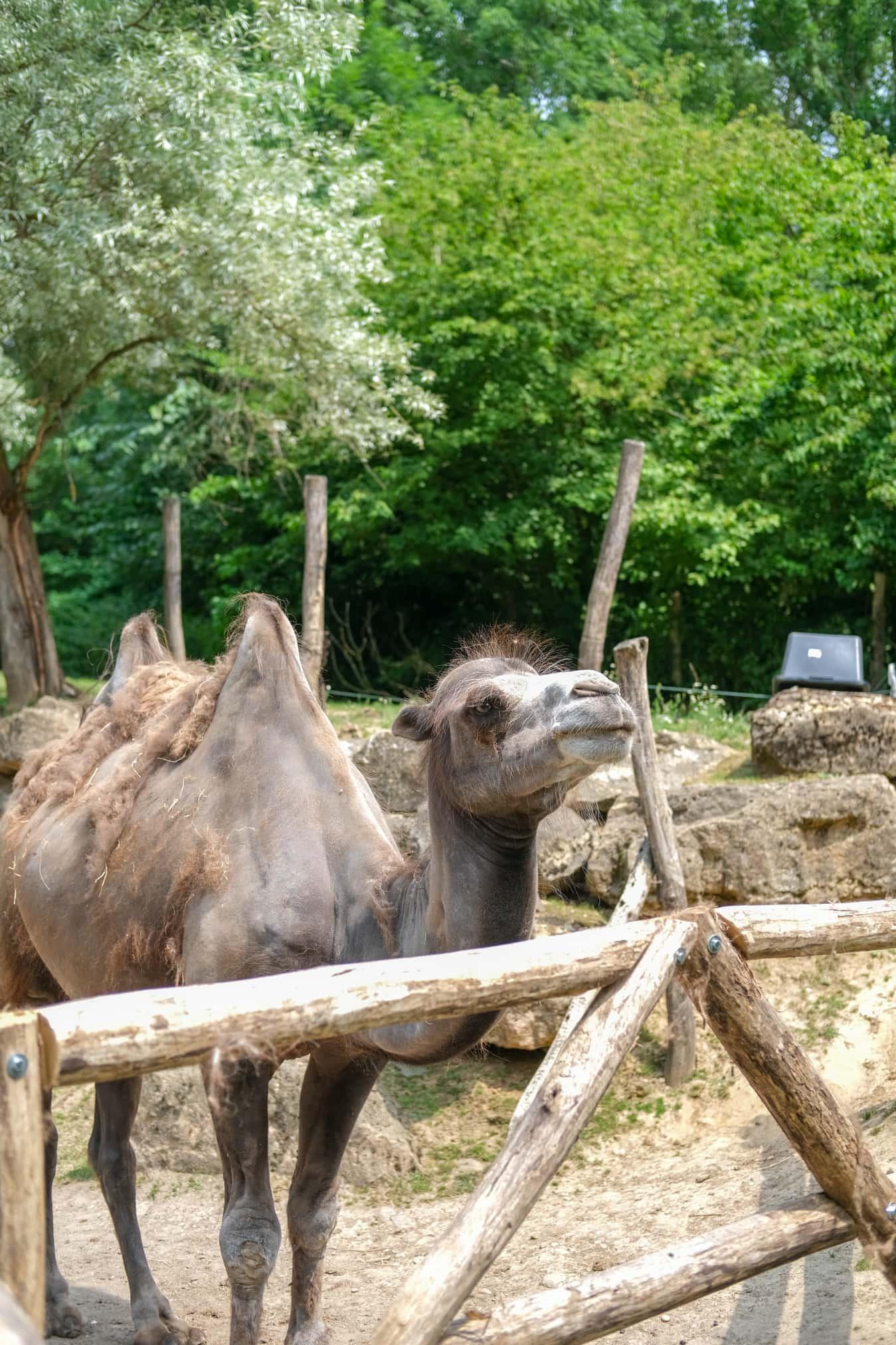 kameel in mondo verde